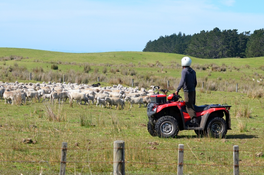 KARIKARI, NZL - SEP 03 2014:Shepherd during Sheep herding.Sheep numbers peaked in New Zealand in 1982 to 70 million and then dropped to about 40 million today